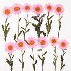 Pressed Chrysanthemum paludosum real dried flowers women jewelry 6pcs 102294