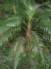 Lytocaryum weddellianum - Miniature Coconut Palm - 5 Seeds