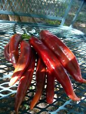 Ms. Junie chile pepper - very flavorful, productive and uniform variety