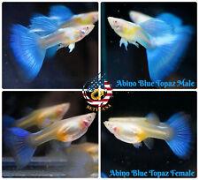 1 TRIO - Live Aquarium Guppy Fish High Quality - Abino Blue Topaz - USA SELLER