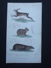 ALPINE HARE, CAPYBARA ORIGINAL 1837 HAND COLORED COPPER PLATE ENGRAVING