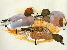 Mounted Print. Two Pairs of Wigeon  Charles Tunnicliffe