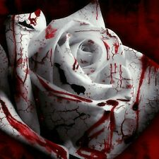 10 semi rosa bianco sangue raro fior seeds