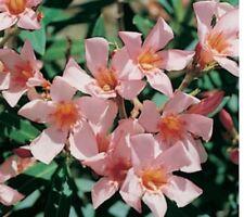 DWARF APRICOT Nerium oleander frost/dry hardy apricot flowers plant 140mm pot