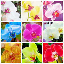 200 Pcs Mixed Colors Phalaenopsis Seeds Bonsai Balcony Flower Orchid Seeds