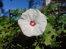 Cutleaf Morning Glory Merremia dissecta Organic 10 Fresh Seeds (Free Shipping)