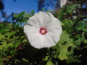 Cutleaf Morning Glory Merremia dissecta Organic 10 Seeds (Free US Shipping)