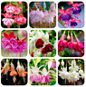 100 PCS Seeds Fuchsia Hybrida Plants Bonsai Lantern Flowers Perennial Garden New