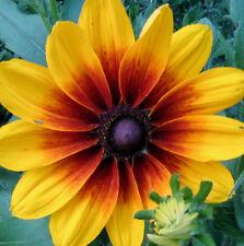 4000 Gloriosa Daisy Indian Summer Rudbeckia Hirta Flower Seeds + Gift & CombS/H