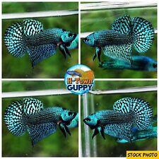 Live Betta Fish High Quality Wild Betta Alien Green - USA Seller