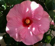 ☺50 graines d hibiscus rose à grande fleur