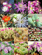GIBBAEUM  MIX, succulent cactus mixed living stones rocks plant seed -15 SEEDS