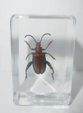 Frog-legged Jewel Beetle Sagra femorata Clear Block Education Insect Specimen
