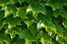 ivy, BOSTON IVY, climbing vine perennial, 28 seeds! GroCo