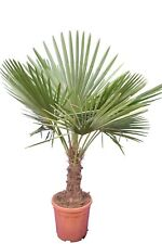 Winterharte Hanfpalme XL - Trachycarpus fortunei - Größe 150-180cm Stamm 40-50cm
