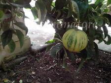 5 seeds SEMI DI Citrus Sinensis Mutabilis - (Rarissimo)