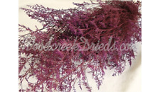 Preserved Dyed Burgundy Caspia Floral Foliage Filler Flower