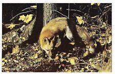 CANADA Forest Woods RED FOX Postcard Vintage Unusual SHOT Wildlife Wild Animal