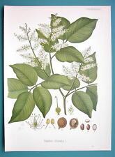 BALSAM OF COPAIBA Copaifer Officinalis Plant - Beautiful COLOR Botanical Print