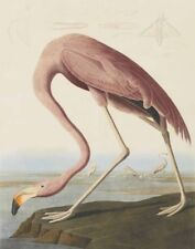 Audubon James John American Flamingo Canvas Print 16 x 20     #3847