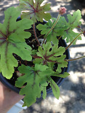 Tiarella HAPPY TRAILS trailing foam flower glossy foliage shade perennial plant