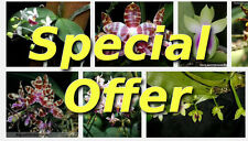 Special Offer - Choose 5 plants Seedling Phalaenopsis at GBP29.50 save > 30%
