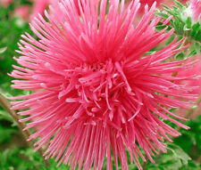 Aster Needle Unicum Salmon Pink Callistephus Chinensis - 20 Seeds