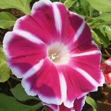 Morning Glory Seeds Rosita Red White Flowering Climbing Vine Ipomoea Nil Usa