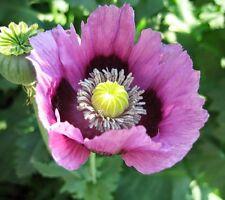 5000 Seeds - Afghan Blue Poppy - Papaver somniferum