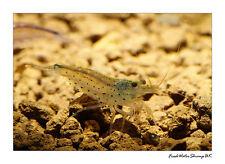 Amano Shrimp / Caridina Multidentata