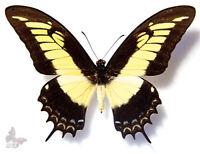 DICHORRAGIA NINUS NINUS unmounted butterfly