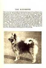 * Keeshond - 1931 Vintage Dog Print - Matted