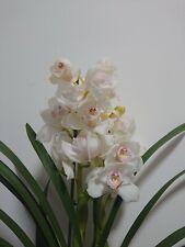 Rare Cymbidium White Orchid. In Bloom.