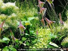 Anubias barteri x1-Live Aquarium Moss Plant Fish Tank