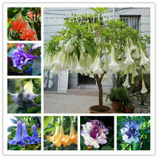 🔥50PCS Brugmansia Datura Seeds Mix Color Rare Dwarf Angel Viable Bonsai Flower