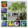 🔥50PCS Brugmansia Datura Seeds Mix Color Rare Dwarf Angel Viable Bonsai Flower