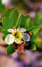 50 SEEDS Lloque Kageneckia lanceolata seeds