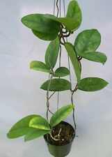 Hoya motoskei [B22J1],1 pot rooted plant20-22 inches!