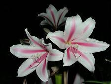 Crinum Lily, Herbertii 'P F Reasoner', JUMBO blooming-size bulb American classic