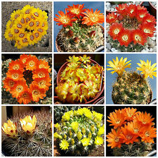 20 semi in miscuglio di Weingartia mix ,piante grasse,seed cactus mix