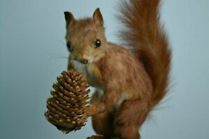 stuffed European red squirrel holding a forest cone in its paws Taxidermy Mount