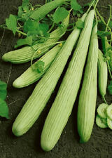 Cucumber Seeds 500 Armenian Yard Long Cucumber Seeds
