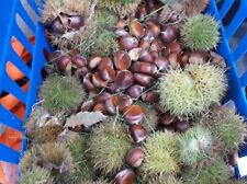 2020 Harvest 1 Dozen (12) American Chestnut Seeds Presale (Harvest about 10-3)