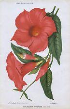 1883 Dipladenia profusa Echt Antik botanische PRINT Linden