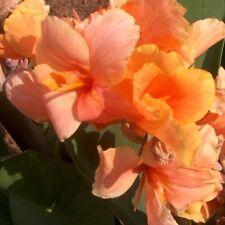Canna Tropical Sunrise Large Blooming Size Bulbs, Lot Of (3) Rhizomes Green Leaf