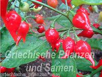 🔥 Biquinho Chili süss für Kinder 10 Samen fruchtig süsse Chilis Balkon im Haus