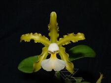 Especies Cattleya schilleriana var. Albina cerca de Bloom tamaño Fragante