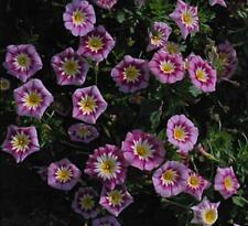 Convolvulus Ensign Series Rose Annual Seeds