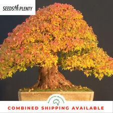 Trident Maple - Acer buergerianum (30 Bonsai Seeds)