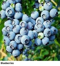 2 Blueberry Plants Fruit Garden Blueberry edible fresh fruit Grow & Eat cutting